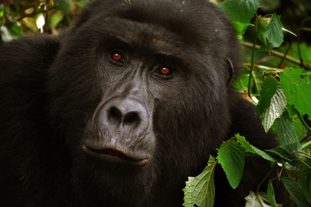 The Ultimate Guide to Primates Tracking in Uganda
